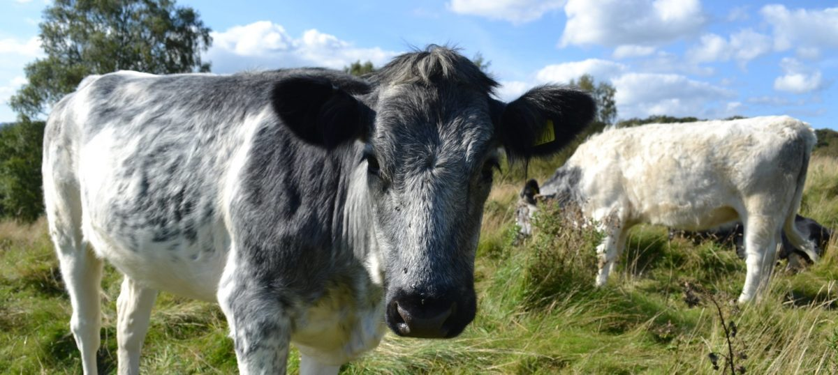 A grey and white cow in a field, staring intently at the camera